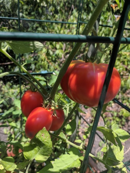 Tomatoes in cage